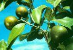 poison nut